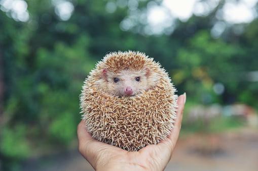 where to buy hedgehog