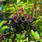 Where to buy Elderberry