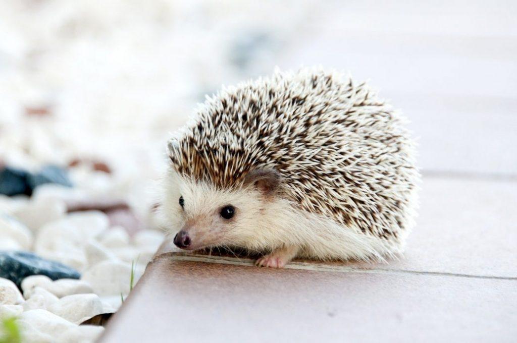 where to buy a hedgehog